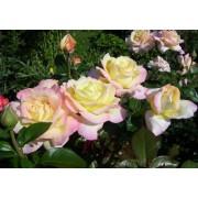 Роза чайно-гибридная Gloria Dei (Глория Дей)
