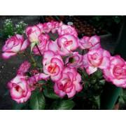 Роза плетистая Handel (Хенднль)