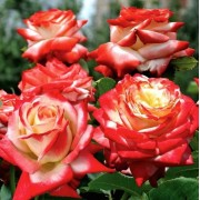 Роза чайно-гибридная Imperatrice Farah ( Императрица Фарах)