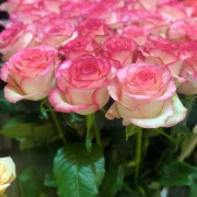 Роза чайно-гибридная Jumilia (Джамиля)