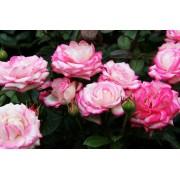 Роза флорибунда Laminuette (Ламинуетте)
