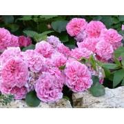 Роза почвопокровная Les Quatre saisons ( Ле Катр Сэзон)