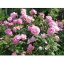 Роза английская Mary Rose (Мэри Роуз)