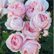 Роза плетистая  Nahema (Нахема) клаймбер