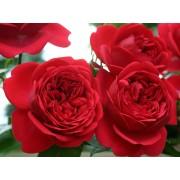 Роза флорибунда  Out of Rosenheim (Аут оф Розенхайм)