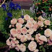 Роза флорибунда Pastella (Пастелла)