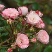 Роза почвопокровная Patte de Velours (Пат де велюр)