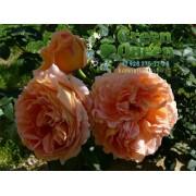 Роза плетистая Polka (Полька) клаймбер
