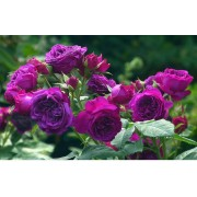 Роза шраб Purple Lodge (Перпл Ложд)
