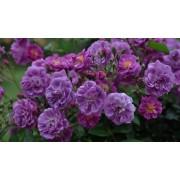 Роза плетистая Purple Skyliner (Перпл Скайлайнер) рамблер