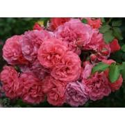 Роза плетистая Rosarium Uetersen (Розариум Ютерсен)
