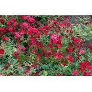 Роза почвопокровная  Red Cascade (Ред Каскад)