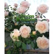Роза плетистая New Dawn (Нью Даун) клаймбер