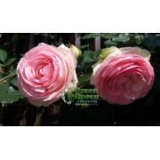 Роза плетистая Pierre de Ronsard (Пьер де Ронсар) клаймбер
