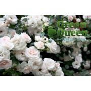 Роза почвопокровная Aspirin Rose (Аспирин роуз)