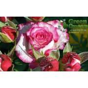 Роза чайно-гибридная Bella Vita (Белла Вита)