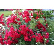 Роза почвопокровная Scarlet Meillandecor (Скарлет Мейяндекор)