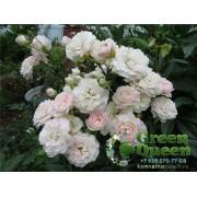 Роза почвопокровная Swany (Сванни)
