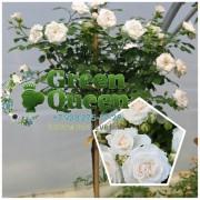 Роза штамбовая Белая почвопокровная
