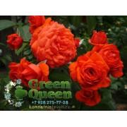 Роза плетистая Salita (Салита)  клаймбер