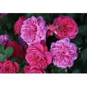 Роза флорибунда Sangria (Сангрия)