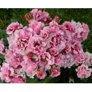 Роза спрей Santa Barbara (Санта Барбара)