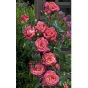 Роза плетистая Shogun (Шогун) клаймбер