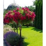 Роза штамбовая Adaletta (Адалетта)