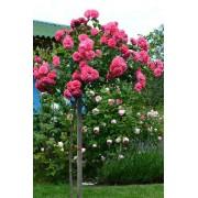 Роза штамбовая Sangria (Сангрия флорибунда)