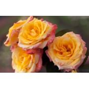 Роза чайно-гибридная Solidor (Солидор)