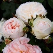 Роза флорибунда Stephanie Baronin zu Guttenberg (Стефани Баронин цу Гуттенберг)