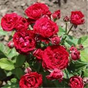 Роза спрей Tamango (Таманго)