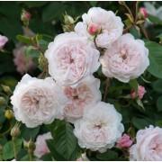 Роза английская The Albrighton Rambler (Зе Олбрайтон Рамблер)