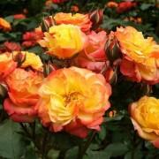 Роза спрей Typhoon (Тайфун)