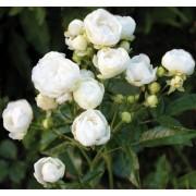 Роза почвопокровная Morsdag White (Мосгард Вайт)
