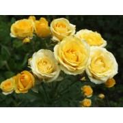Роза спрей Yellow Baby (Еллоу Бейби)