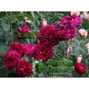 Роза английская Falstaff (Фальстафф)