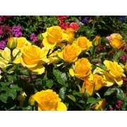 Роза чайно-гибридная Кerio (Керио)