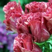 Роза чайно-гибридная Pink Intuition (Пинк Интуишн)