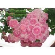 Роза плетистая  Jasmina (Жасмина) клаймбер