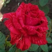 Роза чайно-гибридная Red Intuition (Рэд Интуишн)