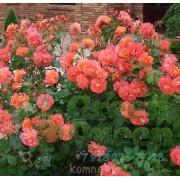 Роза плетистая  Westerland (Вестерланд) клаймбер