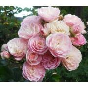 Роза мускусная Bouquet Parfait (Букет Парфэ)