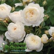 Роза английская Claire Austin (Клер Остин)