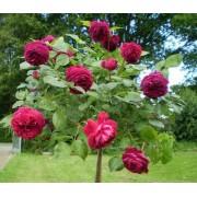 Роза штамбовая Falstaff (Фальстафф)