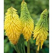 Книфофия Poco Yellow (Поко Йеллоу)