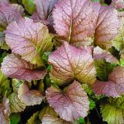 Горчица Красный гигант салатная листовая