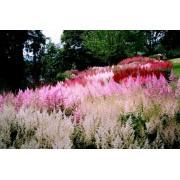 Серия цветущий сад астильба смесь, очиток Малиновый звон
