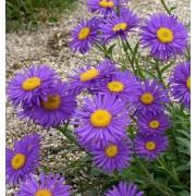 Астра альпийская фиолетовая Поиск 0,04 г