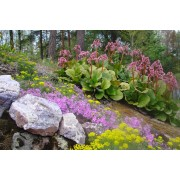 Бадан Маэстро смесь окрасок Цветущий сад 0,01 г